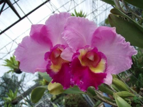 Сорта орхидей фото