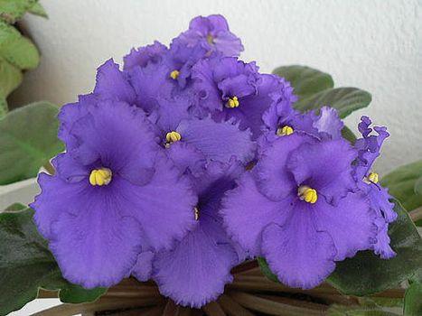 Квіти фіалки