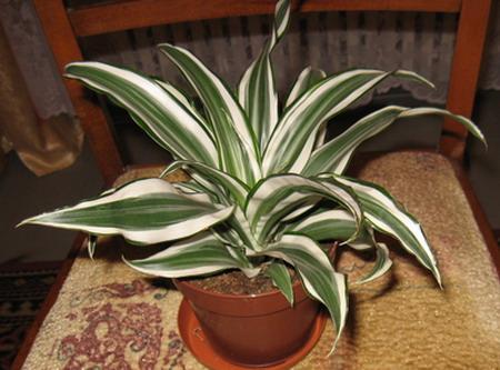 Комнатные растения пальмы драцена уход и содержание.