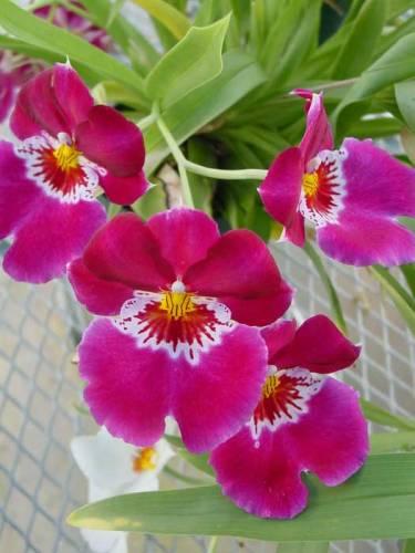 Орхидеи из гофрированной бумаги